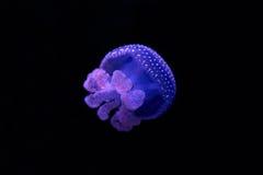 白色蓝色被察觉的水母(Phyllorhiza punctata) 库存图片