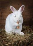 白色蓬松兔宝宝吃一棵红萝卜 库存照片