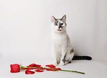 白色蓬松蓝眼睛的猫坐在一个优美的姿势的白色背景在一朵红色玫瑰和瓣旁边 库存照片