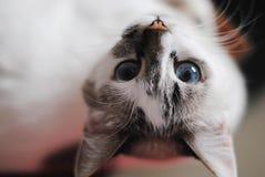 白色蓬松蓝眼睛的猫 接近的颠倒的画象 图库摄影