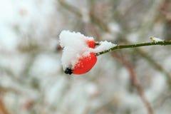 白色蓬松雪雪盖帽在分支的和橙色臀部狂放在冬天关闭宏指令上升了 库存照片
