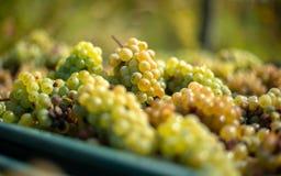 白色藤葡萄 详细的观点的葡萄树在一个葡萄园里在秋天 免版税库存图片