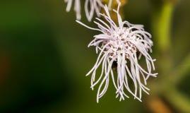 白色藿香蓟属Houstonianum (或绣花丝绒花,蓝色貂皮, Bluewee 图库摄影