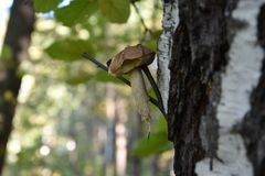 白色蘑菇在一个稀薄的桦树分支垂悬在森林里 库存图片