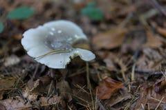 白色蘑菇在森林由棕色叶子surrouned 库存照片