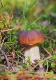 白色蘑菇在森林里 库存图片