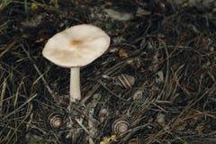 白色蘑菇在5月和三只蜗牛 免版税图库摄影