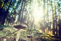 白色蘑菇在晴朗的秋天森林里 库存图片