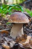 白色蘑菇特写镜头 图库摄影