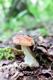 白色蘑菇特写镜头 库存图片