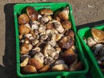 白色蘑菇的汇集在喀尔巴阡山脉的 库存照片