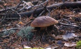 白色蘑菇-牛肝菌蕈类 免版税库存照片