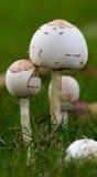 白色蘑菇 免版税图库摄影