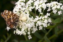 白色蜘蛛吃在夏天花的一只蝴蝶 库存图片