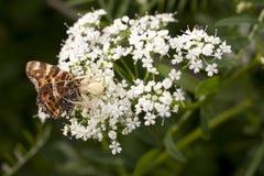 白色蜘蛛吃在夏天花的一只蝴蝶 免版税库存照片