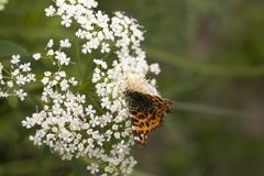 白色蜘蛛吃在夏天花的一只蝴蝶 免版税库存图片