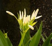 白色蜘蛛百合花在树的树荫下 免版税库存照片