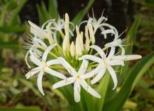 白色蜘蛛百合花在树的树荫下 免版税库存图片
