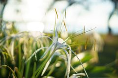 白色蜘蛛百合 Hymenocallis littoralis 免版税图库摄影