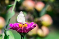 白色蝴蝶坐一朵桃红色花在apples_背景的庭院里  库存照片
