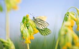 白色蝴蝶坐在春天绿色草甸的黄色报春花花 免版税库存图片