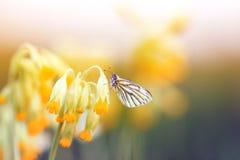 白色蝴蝶坐报春花的精美黄色花在春天太阳绿色草甸 免版税库存图片
