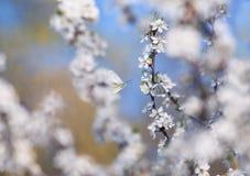 白色蝴蝶掠过在与开花的灌木的芽的分支在5月温暖的晴朗的庭院里 库存图片