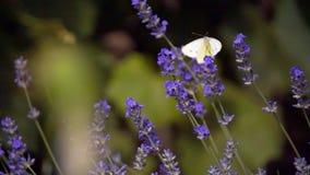 白色蝴蝶,皮利斯芸苔,在淡紫色开花 股票视频