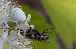 白色螃蟹蜘蛛Misumen vatia和它的昆虫牺牲者ount 在一朵白色spirea花 库存图片