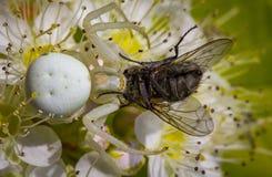 白色螃蟹蜘蛛Misumen vatia和它的昆虫牺牲者ount 在一朵白色spirea花 图库摄影