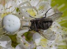 白色螃蟹蜘蛛Misumen vatia和它的昆虫牺牲者ount 在一朵白色spirea花 免版税库存图片
