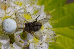 白色螃蟹蜘蛛Misumen vatia和它的昆虫牺牲者ount 在一朵白色spirea花 免版税库存照片