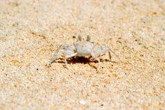 白色螃蟹问好 免版税库存照片