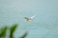 白色被加冠的夜鹭属 库存照片