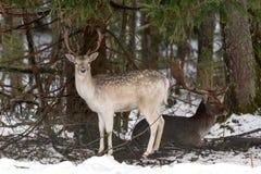 白色被察觉的鹿 两头小鹿大型装配架 庄严强有力的成人小鹿,黄鹿黄鹿,在冬天森林里,白俄罗斯 Fal男性  库存照片