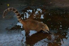 白色被引导的浣熊 美洲浣熊narica 阿根廷,与鼻子的异常的动物 库存照片