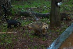 白色被引导的浣熊 美洲浣熊narica 阿根廷,与鼻子的异常的动物 免版税图库摄影