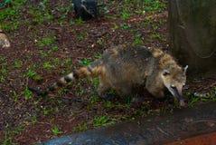 白色被引导的浣熊 美洲浣熊narica 阿根廷,与鼻子的异常的动物 库存图片