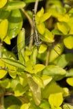 白色被注视的蜻蜓 免版税库存图片