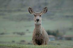 白色被盯梢的小鹿 免版税库存图片