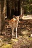 白色被盯梢的小鹿 库存照片