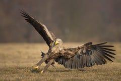 白色被盯梢的老鹰着陆 免版税库存图片