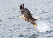 白色被盯梢的老鹰 免版税图库摄影