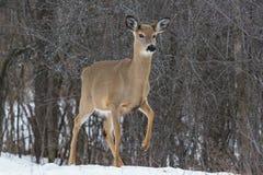 白色被盯梢的鹿在冬天 库存图片