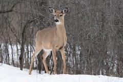 白色被盯梢的鹿在冬天 免版税库存照片