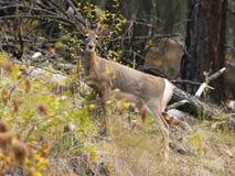 白色被盯梢的鹿在国家公园 免版税库存图片