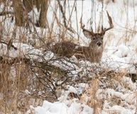 白色被盯梢的鹿大型装配架 库存图片