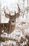 白色被盯梢的鹿大型装配架 库存照片