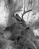 白色被盯梢的鹿大型装配架 免版税图库摄影