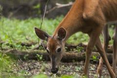 白色被盯梢的鹿紧密哺养 免版税库存图片